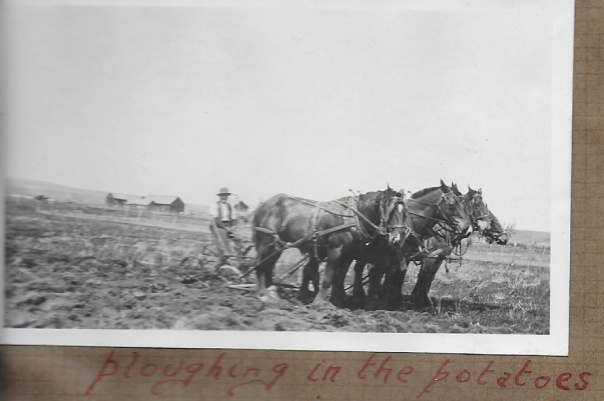 J.H. Bennett ploughing the potatos