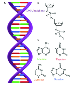 A-The-double-stranded-structure-of-DNA-B-The-DNA-backbone-consists-of-phosphate